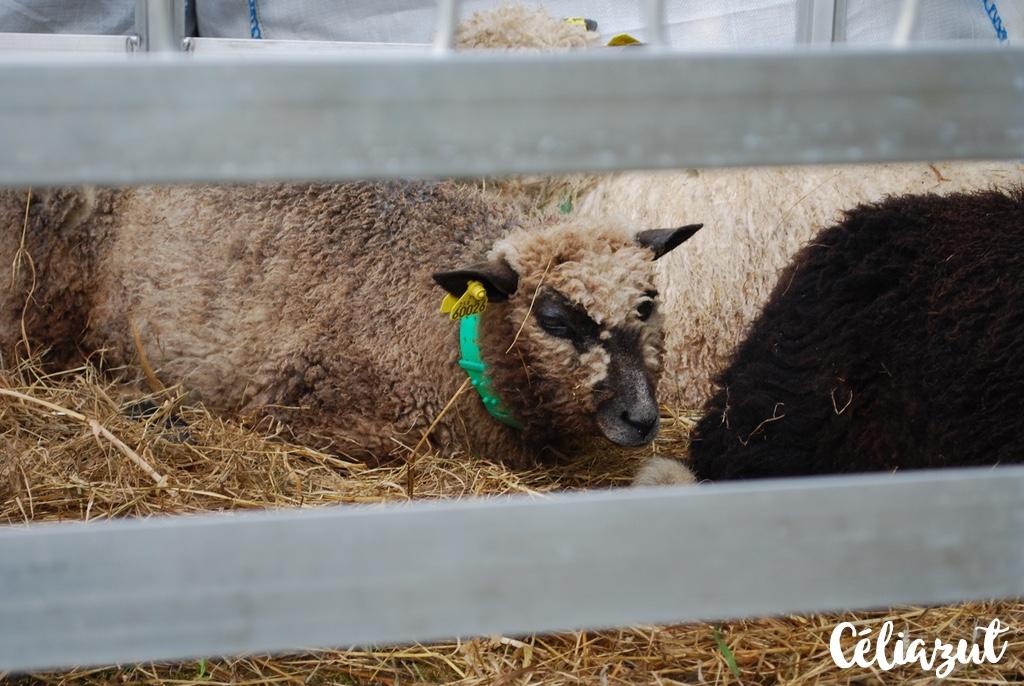 Les agneaux de la Bergerie du Menez Hom